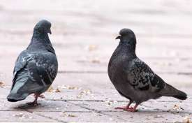 Problem Birds in Public Spaces:  Bird Droppings and Beyond